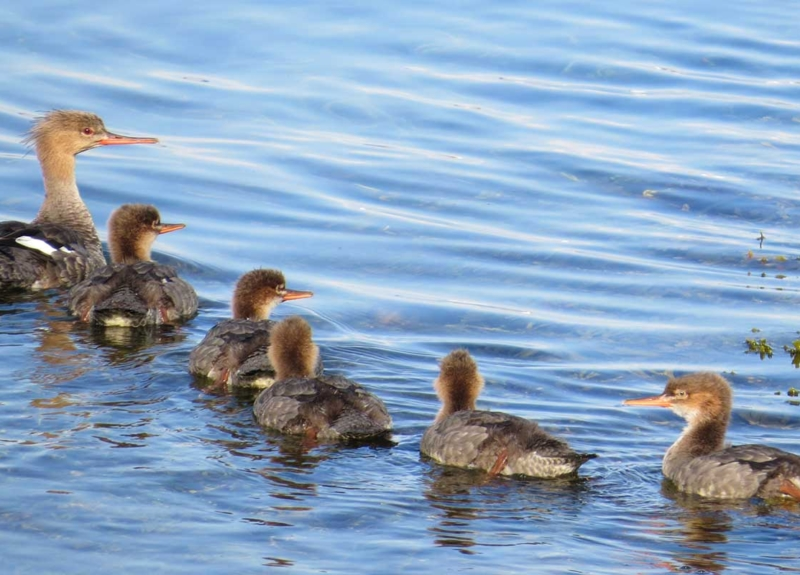 Ducks-and-ducklings@2x